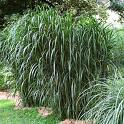 Miscanthus_flori_4a8547099274f.jpg